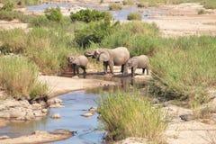 Rodzina słonie GASZĄCY ICH pragnienie Obrazy Stock