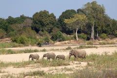 RODZINA słonie NA ICH sposobie SABIE rzeka Fotografia Royalty Free