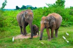 Rodzina słonie z potomstwami jeden Obraz Stock