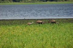 rodzina sandhill crane zdjęcie stock