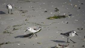 Rodzina seagulls Obraz Royalty Free