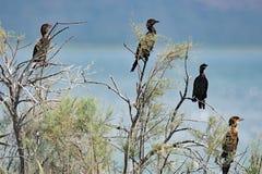Rodzina składająca się z czterech osób Pgymy kormorany wśród Vrana jezior natury parka, Chorwacja obrazy royalty free