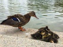 Rodzina stoi na brzeg kaczki Fotografia Stock
