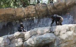 Rodzina szympansy w dzikim Fotografia Stock