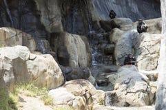 Rodzina szympansy w dzikim Fotografia Royalty Free