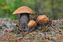 Rodzina trzy śliczny nakrywający scaber podkrada się Leccinum aurantiacum w sosnowych igłach zamkniętych w górę Grzyby, pieczarka zdjęcia stock