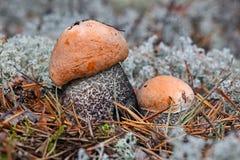 Rodzina trzy śliczny nakrywający scaber podkrada się Leccinum aurantiacum w sosnowych igłach zamkniętych w górę Grzyby, pieczarka fotografia stock