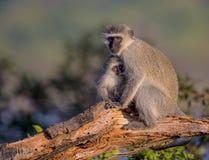 Rodzina Vervet małpy w Kruger parku narodowym Obrazy Stock