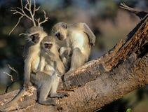 Rodzina Vervet małpy w Kruger parku narodowym Zdjęcie Royalty Free