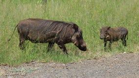 Rodzina Warthogs Zdjęcie Royalty Free