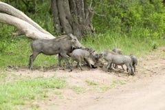 Rodzina warthogs w Umfolozi gry rezerwie, Południowa Afryka, ustanawiający w 1897 Obrazy Stock