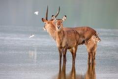 Rodzina waterbuck, kobus ellipsiprymnus, bierze napój przy waterhole obrazy royalty free