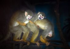 Rodzina wiewiórcze małpy Obraz Royalty Free
