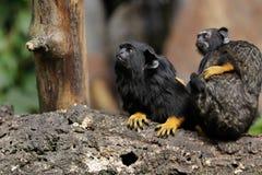 Rodzina wręczająca midas długouszka małpuje, Nowego światu małpa zdjęcia royalty free