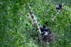 Rodzina wrony Obrazy Stock