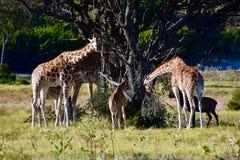 Rodzinna jednostka: Giraffa camelopardalis, Skamieniały obręcz przyrody centrum Obraz Royalty Free