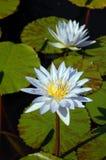rodzinna lelui lotosu woda Fotografia Stock