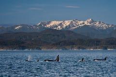 rodzinna orka Fotografia Stock