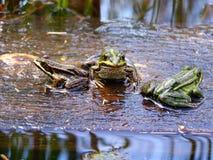 rodzinne żaby fotografia stock
