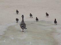 Rodzinne kaczki Zdjęcia Royalty Free