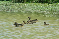 Rodzinne kaczki Fotografia Stock
