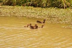 Rodzinne kaczki Fotografia Royalty Free