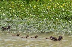 Rodzinne kaczki Zdjęcia Stock