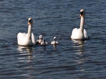 rodzinny łabędź Zdjęcia Royalty Free