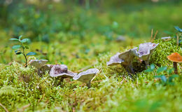 rodzinny grzyb obrazy stock