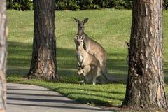 rodzinny kangur Zdjęcie Royalty Free