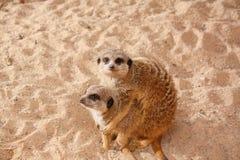 rodzinny meerkat Obrazy Royalty Free