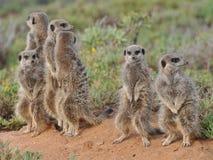 rodzinny meerkat Fotografia Stock