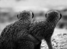 rodzinny meerkat Zdjęcia Stock
