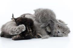Rodzinny portret Szkoccy fałdów koty obraz stock