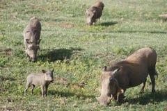 rodzinny warthog Obrazy Royalty Free