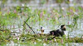 Rodzinny Wielki Czubaty perkoz, Podiceps cristatus z kurczątkami blisko gniazdeczka, zbiory wideo