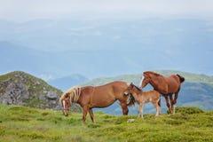 rodzinnych źrebięcia koni mała łąka zdjęcie royalty free