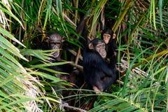 Rodziny grupa szympansy Zdjęcia Royalty Free