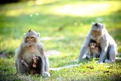 rodziny małpa Zdjęcia Stock