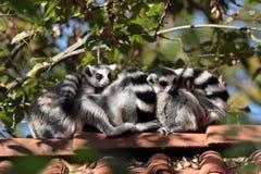 rodziny małpa Zdjęcie Stock