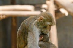 Rodziny małpa Obraz Stock