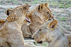 Rodziny paczka lwy Duma lwy dalej odpoczywa Afrykańskiego lwa Panthera Leo Męscy lwy wielką grzywę gęsty włosy fotografia royalty free