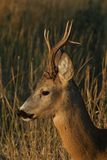 Roe. Deer in high autumn grass. portrait Royalty Free Stock Photography