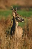 Roe. Deer in high autumn grass. portrait Stock Photos
