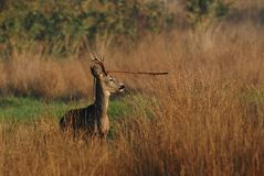Roe. Deer in high autumn grass. portrait Royalty Free Stock Photo