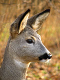 Roe. Head of the roe deer from the profile Stock Photo