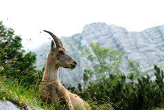 A roe in the Alps. A roe walking in the mountains, with the Alps as background Royalty Free Stock Image
