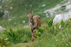 A roe in the Alps. A roe walking in the mountains, with the Alps as background Stock Photo