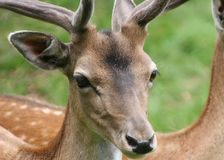 Roe buck Royalty Free Stock Image