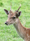 Roe buck Royalty Free Stock Photo